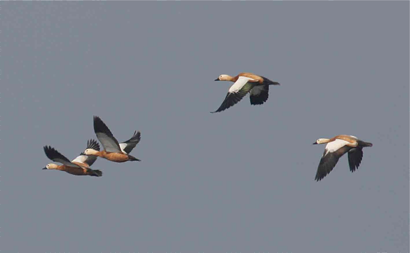 Duck Myanmar